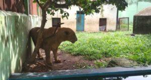 Singa di Taman Rimba. Foto: Wawan/Serujambi.com