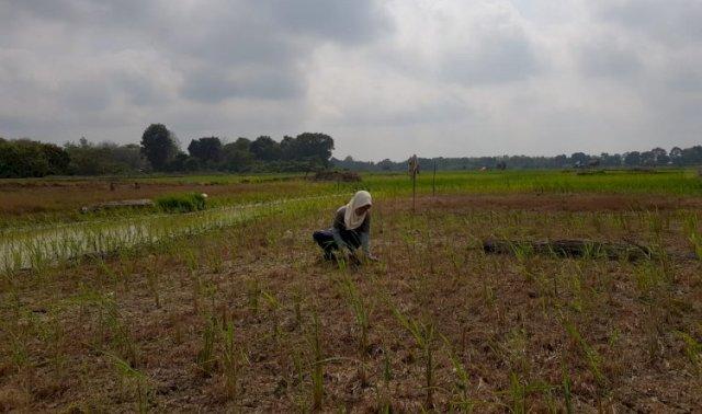 Pertanian di Marosebo, Muarojambi. (brito.id)