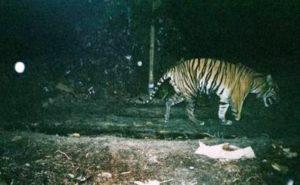 Harimau Sumatera (ist)
