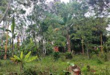 Photo of Pencuri Kulit Manis Resahkan Warga Tanjung Pauh